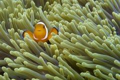 Nemo os peixes amigáveis do palhaço fora do capelão Burgos, Leyte, Filipinas Imagem de Stock