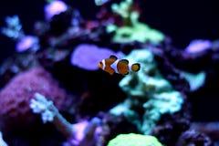 Nemo real Imagem de Stock