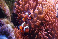 Nemo ryba Obraz Royalty Free