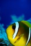 Nemo Royalty Free Stock Photo