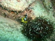 Nemo's cousin stock photography