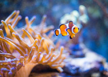 Nemo in sea anemones Stock Image