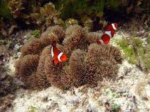 Nemo The Clownfish Stock Image