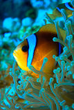 Nemo. Underwater world life,underwater photography can be an amazing art royalty free stock photography