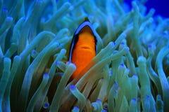 Nemo Royalty Free Stock Photos