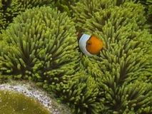 Nemo van Raja Ampat Papua Stock Afbeeldingen