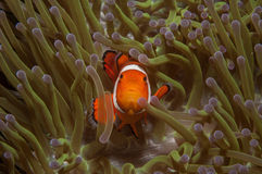 False Clownfish Royalty Free Stock Images