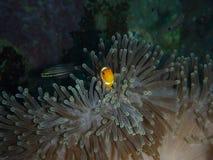 Nemo y anémona de mar imagenes de archivo