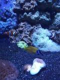 Nemo y pez de san Pedro fotografía de archivo