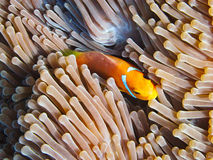 Nemone fish with anemone Royalty Free Stock Photography