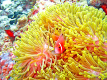 Nemone fish with anemone Royalty Free Stock Images
