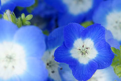 Nemophila Stock Photo