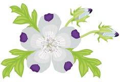 Nemophila stock illustrationer