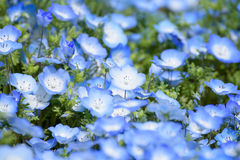 Nemophila Royalty Free Stock Photo