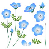 Nemophila Baby Blue Eyes Flower. Vector Illustration. isolated on White Background.  Royalty Free Stock Images