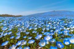 Nemophila (bloemen van baby de blauwe ogen) royalty-vrije stock afbeelding