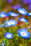Nemophila blommafält arkivfoton