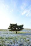 Nemophila bloom Stock Photography