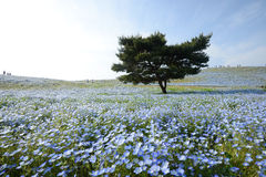 Nemophila bloom Stock Photo
