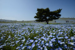 Nemophila bloom Royalty Free Stock Image