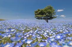 Nemophila,  blue flowers field Royalty Free Stock Image