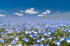 Nemophila,  blue flowers field Royalty Free Stock Photos