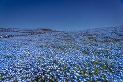 Nemophila enchantent au printemps photo libre de droits