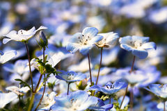 Nemophila Royalty Free Stock Photos