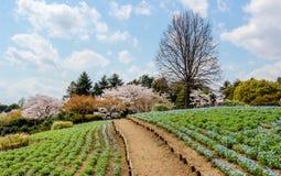Nemophila fields and cherry trees at Showa Kinen KoenShowa Memorial Park,Tachikawa,Tokyo,Japan in spring. Stock Photography