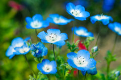 Nemophila flower field Royalty Free Stock Photography