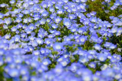 Nemophila flowers. Or baby blue eyes field focus on middle stock photos