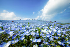 Nemophila garden Royalty Free Stock Photo
