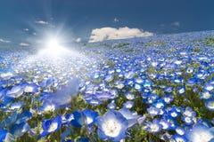 Nemophila, giacimento di fiore e raggio del forte sole di luce brillante al parco di spiaggia di Hitachi Fotografia Stock