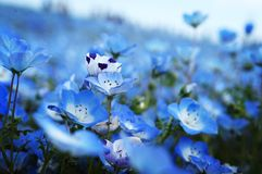 Nemophila menziesii -浅蓝色眼睛 图库摄影