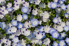Nemophila menziesii royalty free stock photo