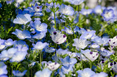 Nemophila menziesii Royalty Free Stock Images