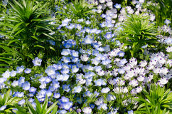 Nemophila menziesii stock photography
