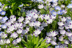 Nemophila menziesii Royalty Free Stock Photos