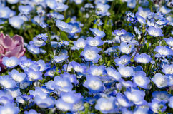 Nemophila menziesii stock photo