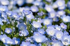 Nemophila menziesii stock photos