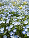 Nemophila menziesii. stock photo
