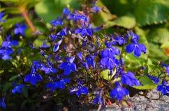 Nemophila spring flower stock photo