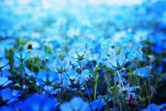 Nemophila, u ojos de azules cielos (menziesii de Nemophila) fotografía de archivo