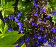 Nemophila wiosny kwiat obrazy royalty free
