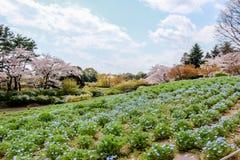 Nemophilagebieden en kersenbomen in Showa Kinen KoenShowa Memorial Park, Tachikawa, Tokyo, Japan in de lente Royalty-vrije Stock Foto