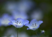 2 nemophilas Стоковая Фотография RF