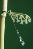 nemoptera Fotografering för Bildbyråer