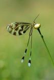Nemoptera-Natur Basisrecheneinheit Stockbilder