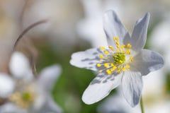 Nemorosa Anemone ή ευρωπαϊκό ξύλινο anemone Στοκ φωτογραφία με δικαίωμα ελεύθερης χρήσης
