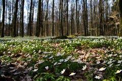 Nemorosa Anemone στο δάσος Στοκ εικόνα με δικαίωμα ελεύθερης χρήσης